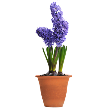 Hyacinth Dreams