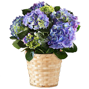 Basket of Hope Hydrangea